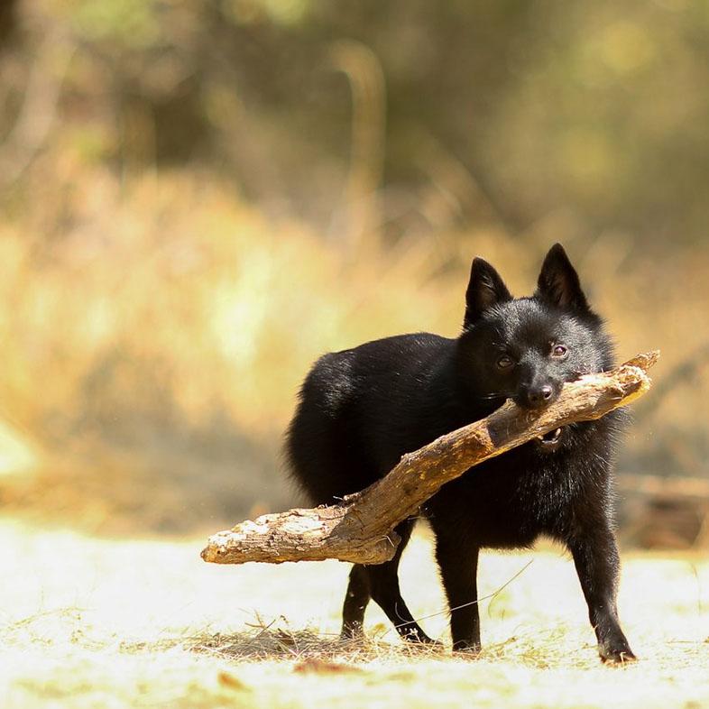 Black Schipperke Dog Running with a Stick | Taste of the Wild
