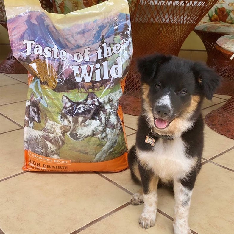 Border Collie Dog Posing With Taste of the Wild Dog Food Bag | Taste of the Wild