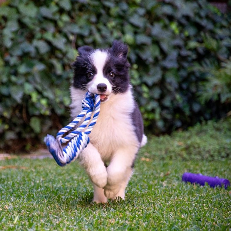 Border Collie Dog Running with Rope Toy in Mouth | Taste of the Wild