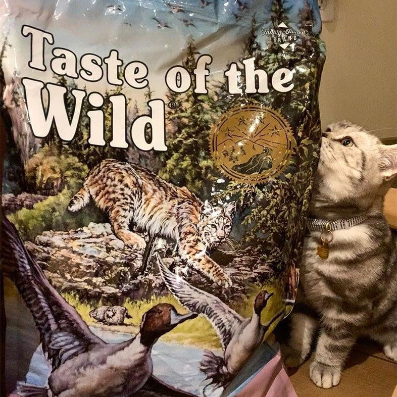Cat Looking at Taste of the Wild Cat Food Bag | Taste of the Wild