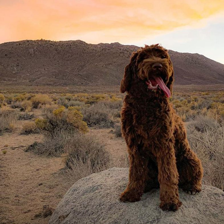 Chocolate Australian Labradoodle Dog Standing on a Rock | Taste of the Wild