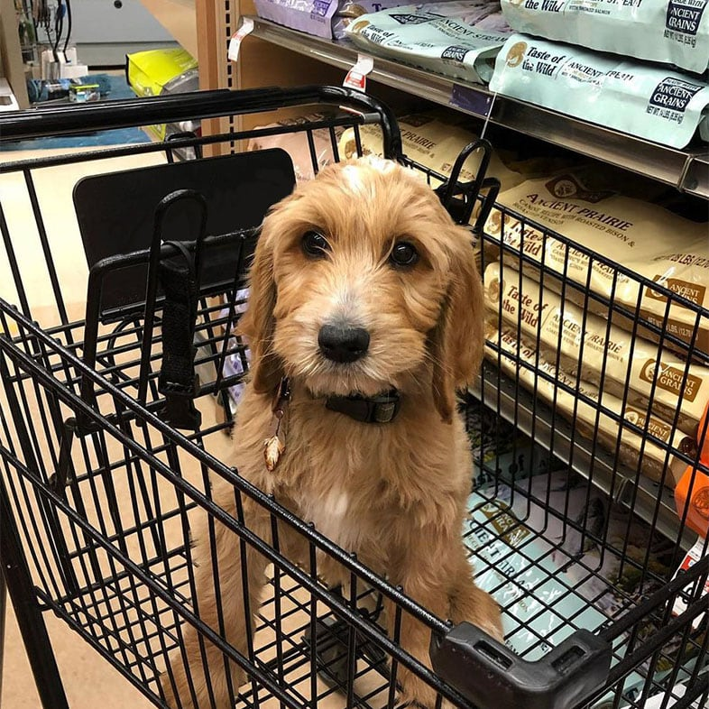 Goldendoodle Dog in a Shopping Cart by Dog Food Bags | Taste of the Wild