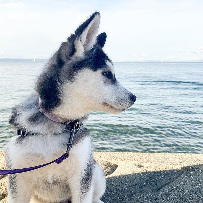 Husky Dog by Body of Water | Taste of the Wild