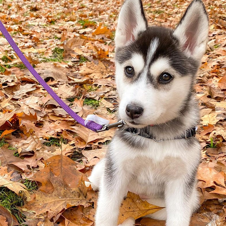Husky Puppy Dog Sitting in Leaves | Taste of the Wild