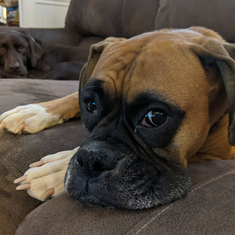 Boxer Lying on Couch | Taste of the Wild