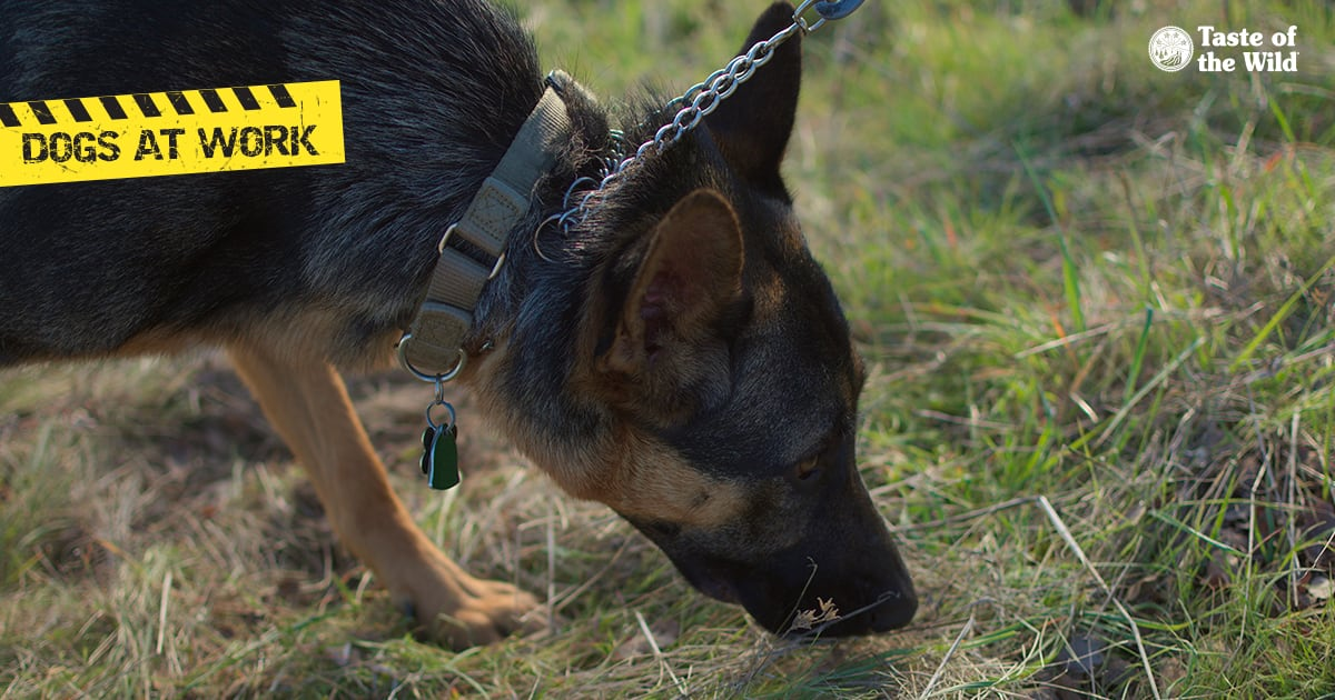 Dog Sniffing for Invasive Insects   Taste of the Wild