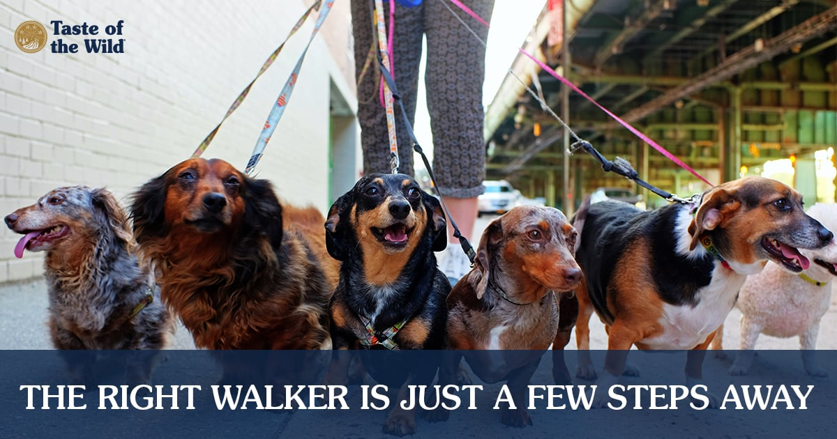 Dog Walker with Six Dogs on Leashes | Taste of the Wild