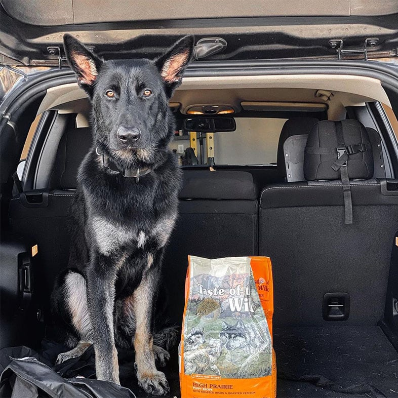German Shepherd Dog Sitting in the Trunk of Car with Taste of the Wild Dog Food Bag | Taste of the Wild