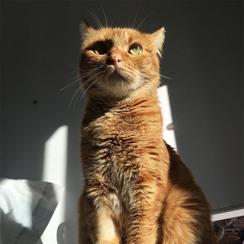 Shorthair Cat Sitting on Table | Taste of the Wild