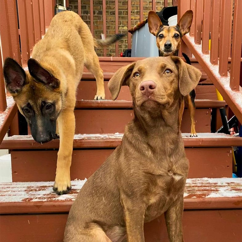 Labrador Mixed Breed Dog with a Miniature Pinscher Dog and a German Shepherd Dog on Stairs | Taste of the Wild