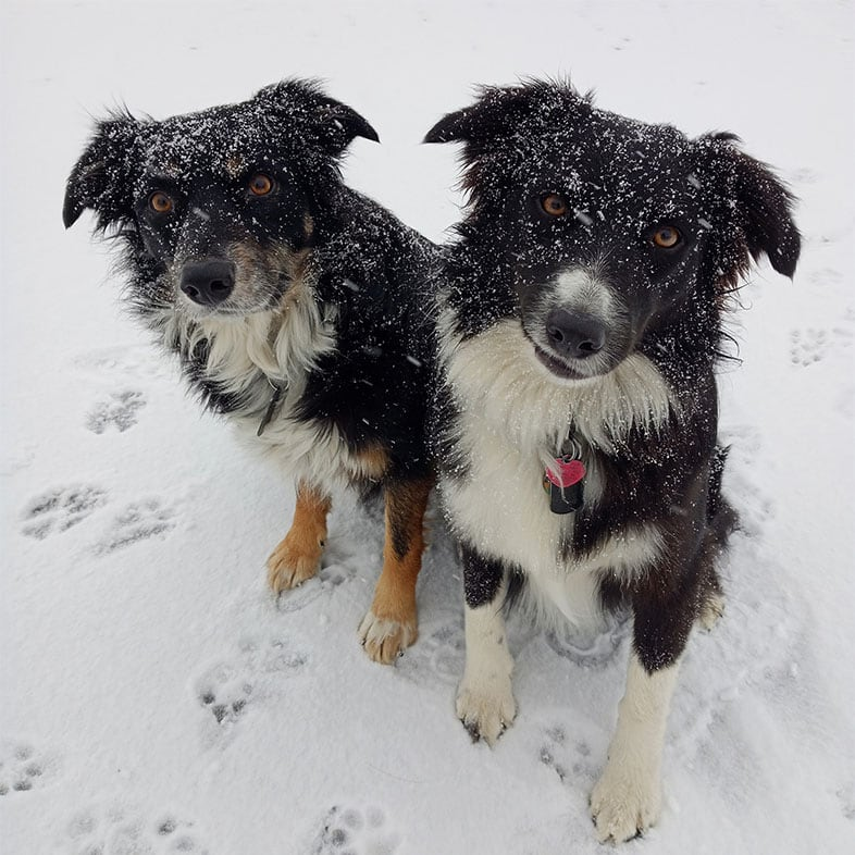 Two Dogs Sitting in Snow | Taste of the Wild