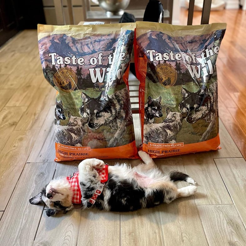 Aussie Dog Lying Paws Up Next to Taste of the Wild Food Bags | Taste of the Wild
