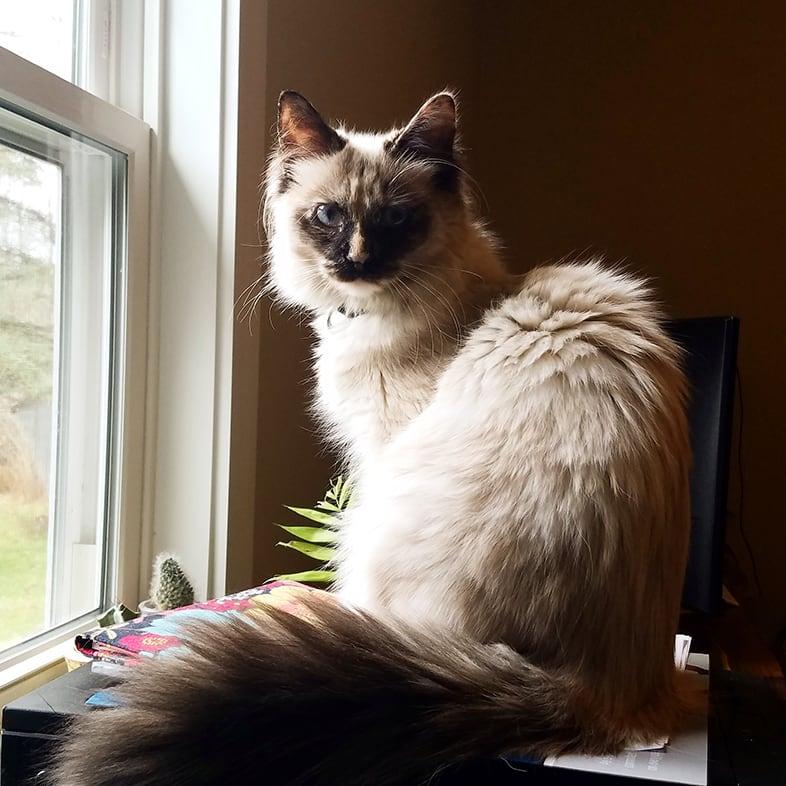 Cat Sitting on a Desk by a Window | Taste of the Wild