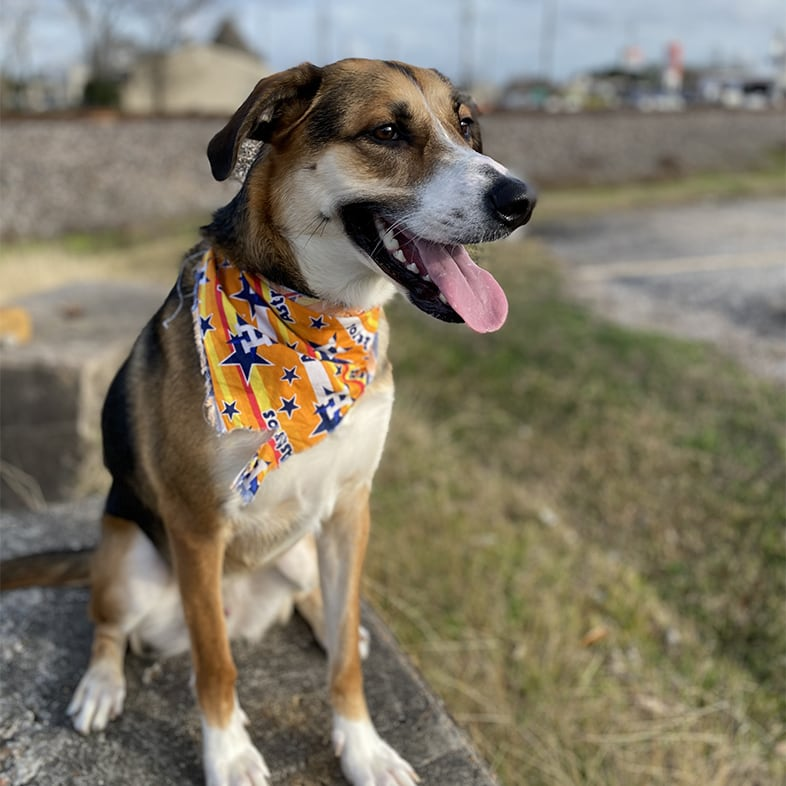 Dog Wearing a Bandana With Tongue Sticking Out | Taste of the Wild