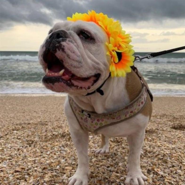 English Bulldog at the Beach Wearing Flower Headdress | Taste of the Wild