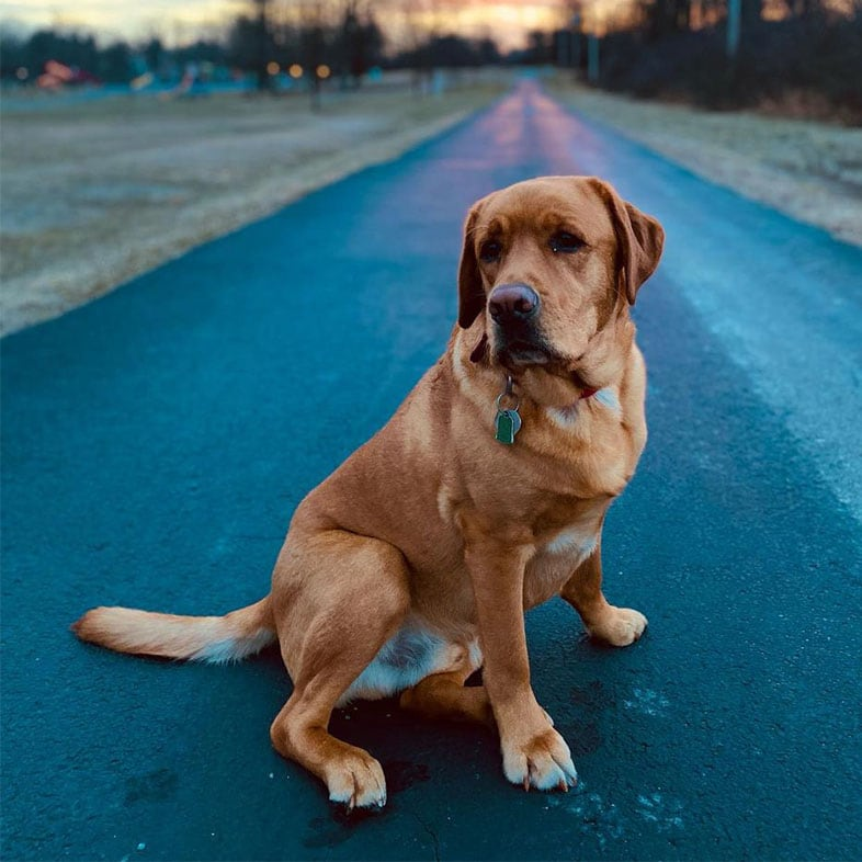 Golden Retriever Dog Sitting on Road in Front of Sunset | Taste of the Wild