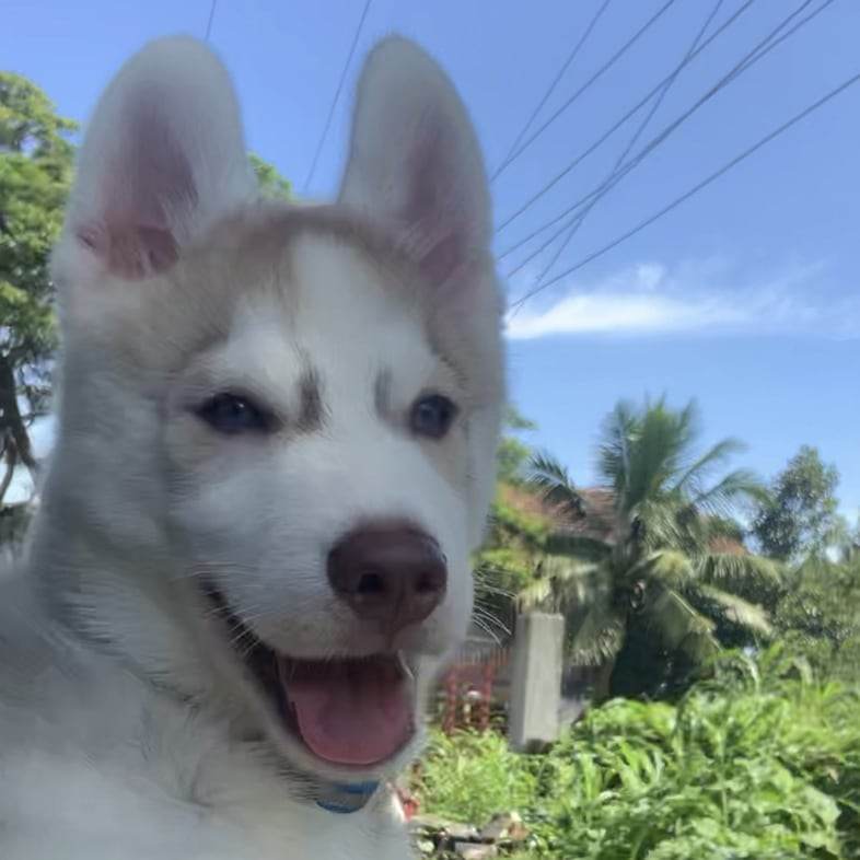 Siberian Husky Dog Outside Car Window | Taste of the Wild