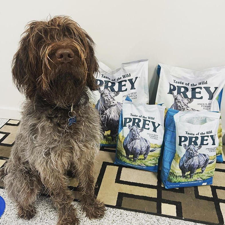 Wirehaired Pointing Gr Sitting Next to Four Taste of the Wild PREY Food Bags | Taste of the Wild