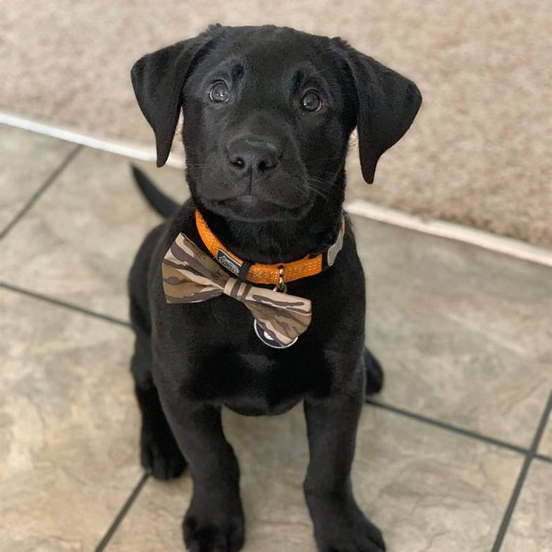 Black Labrador Puppy Sitting Down | Taste of the Wild