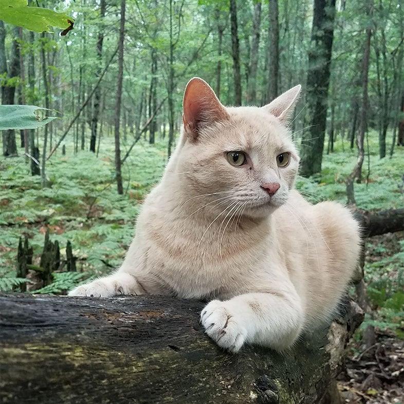Shorthair Cat Lying on Tree | Taste of the Wild