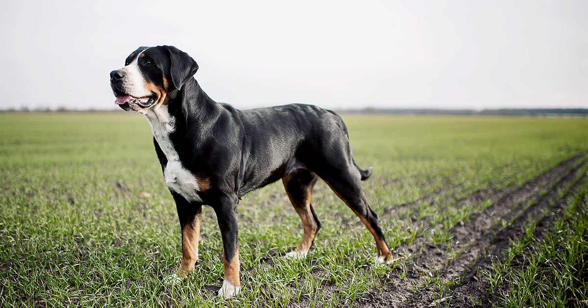 Greater Swiss Mountain Dog Standing in a Field | Taste of the Wild