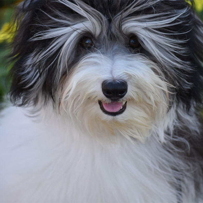 Havanese Dog with Mouth Open | Taste of the Wild