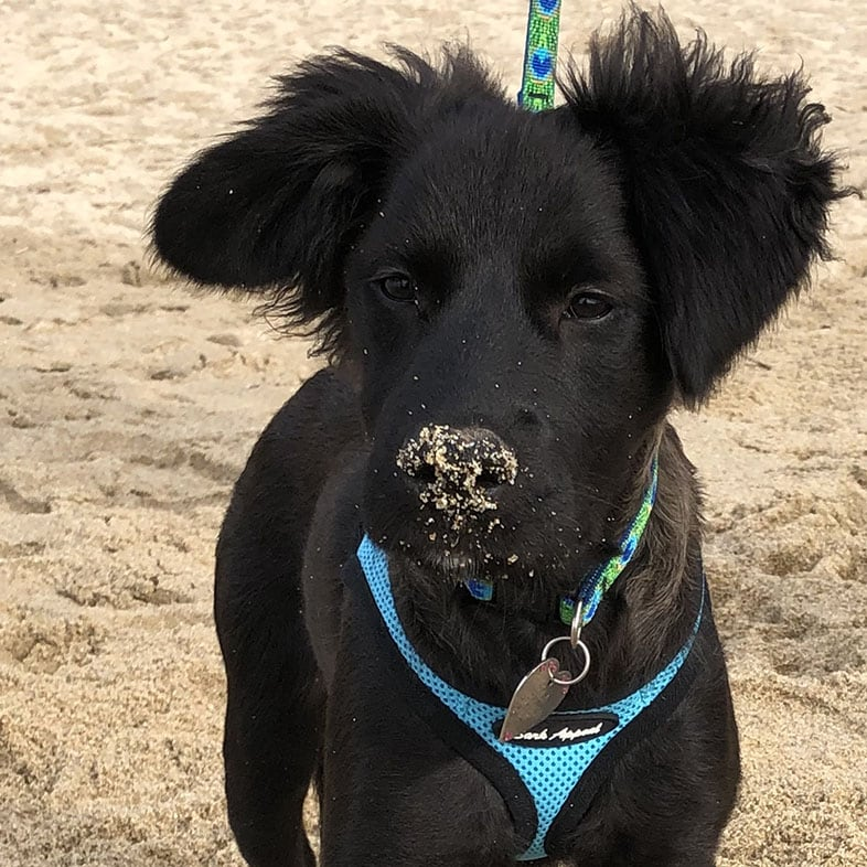 Mixed Breed Black Dog with Sand on Nose | Taste of the Wild