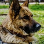 Police Dog Lying on Grass | Taste of the Wild
