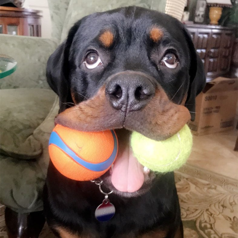 Rottweiler Dog with Two Toys in Mouth | Taste of the Wild