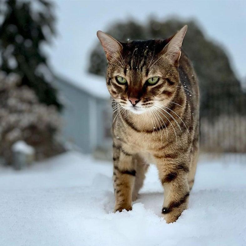 Savannah Cat Standing on the Snow | Taste of the Wild