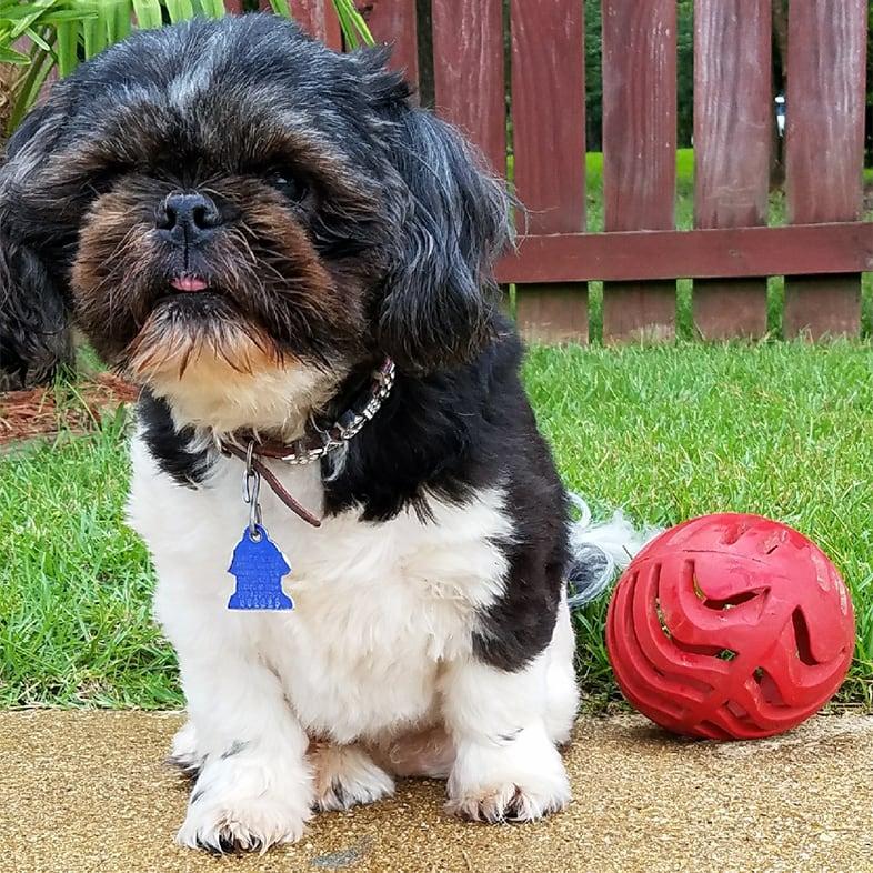 Shih Tzu Dog Sitting Next to Red Ball Toy | Taste of the Wild