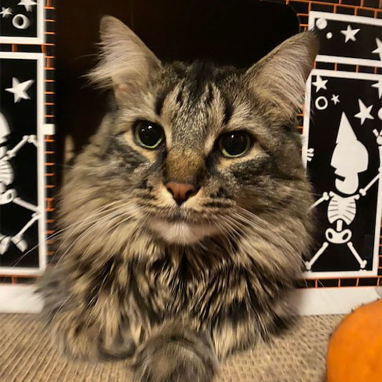 Tabby Coon Cat Lying on Floor | Taste of the Wild