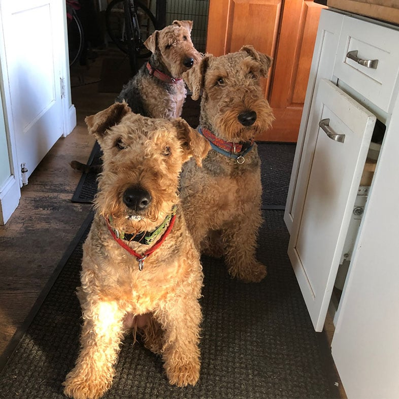 Three Airedale Terrier Dogs Lined Up | Taste of the Wild