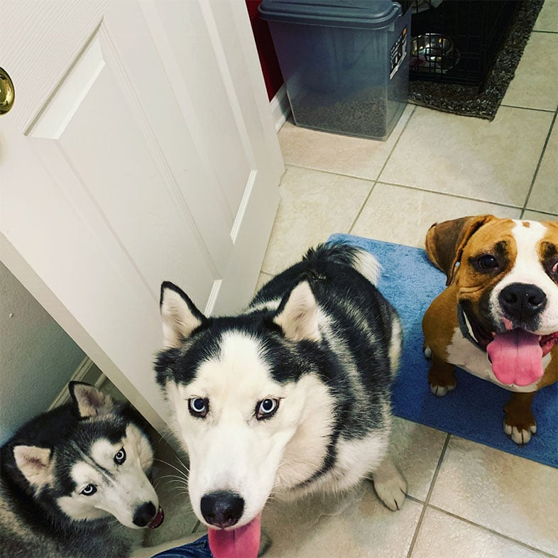Three Dogs Looking Up with Tongues Sticking Out | Taste of the Wild