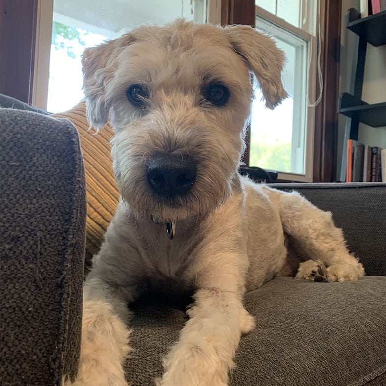 Wheaten Terrier Dog Lying on Couch Looking at Camera | Taste of the Wild