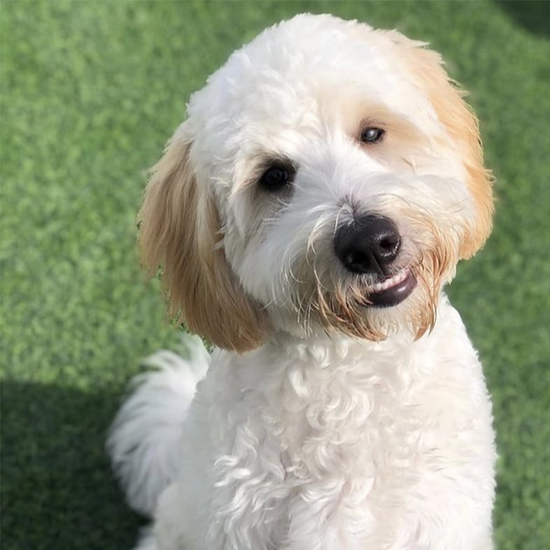 White Labradoodle Sitting and Smiling | Taste of the Wild