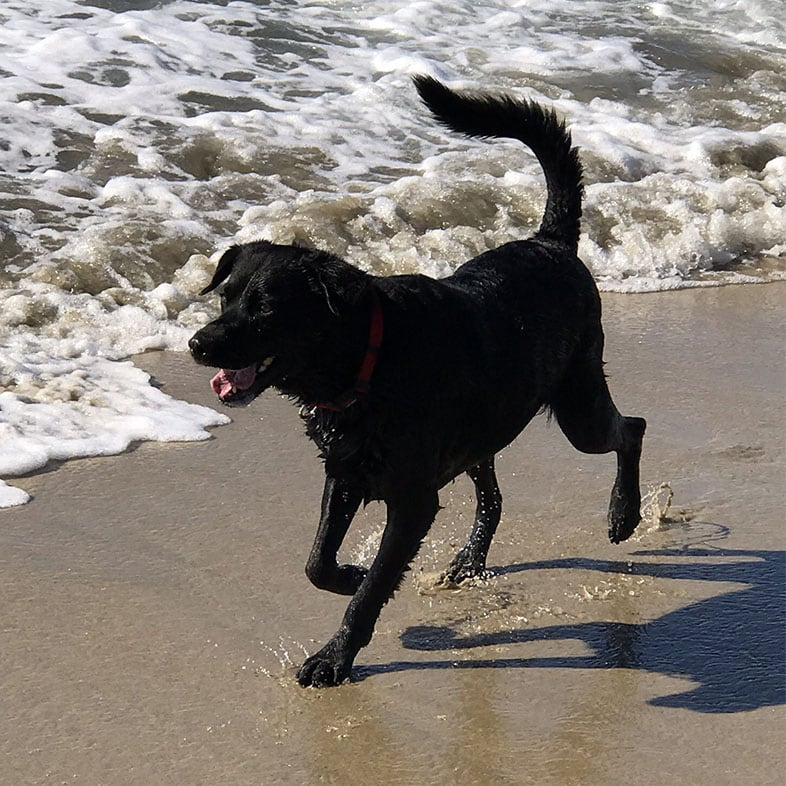 Black Labrador Dog Running on Beach | Taste of the Wild