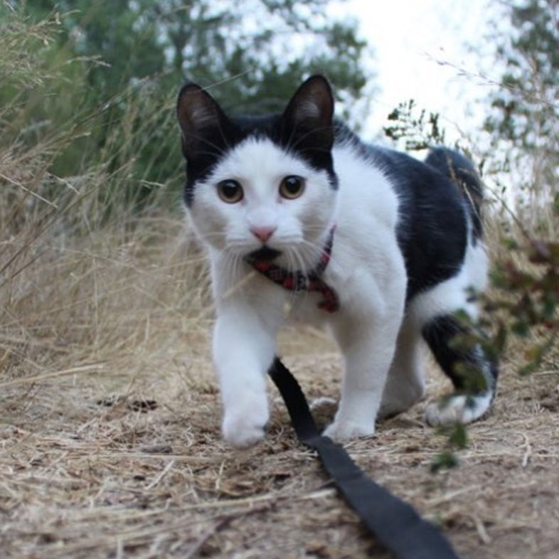 Cat Walking Outdoors with Leash On | Taste of the Wild