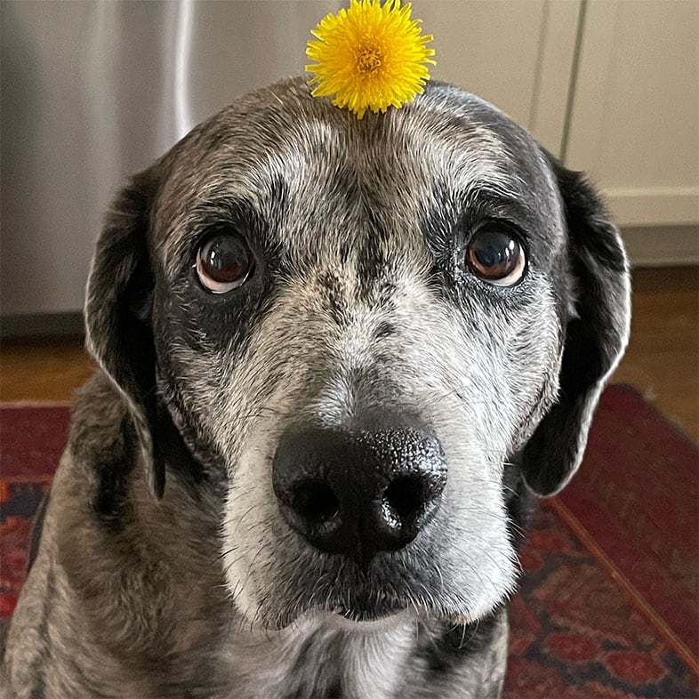 Catahoula Dog with Flower on Head | Taste of the Wild