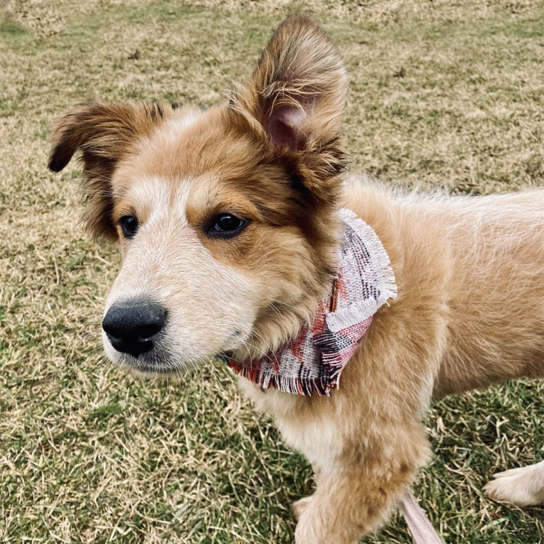Great Pyrenees Mix Dog with Bandana On | Taste of the Wild