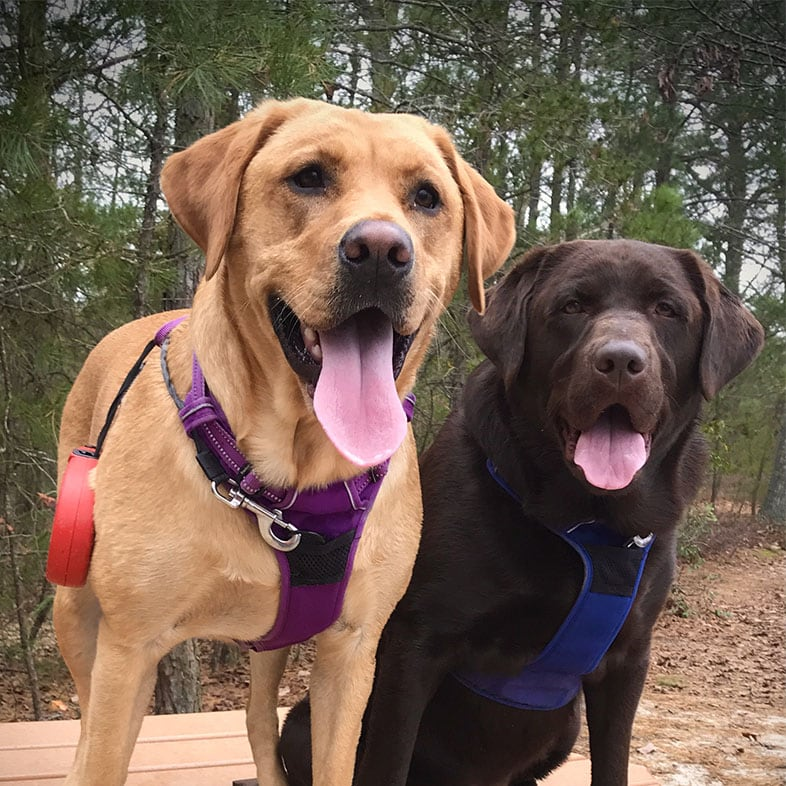 Two Labrador Dogs with Tongues Out | Taste of the Wild