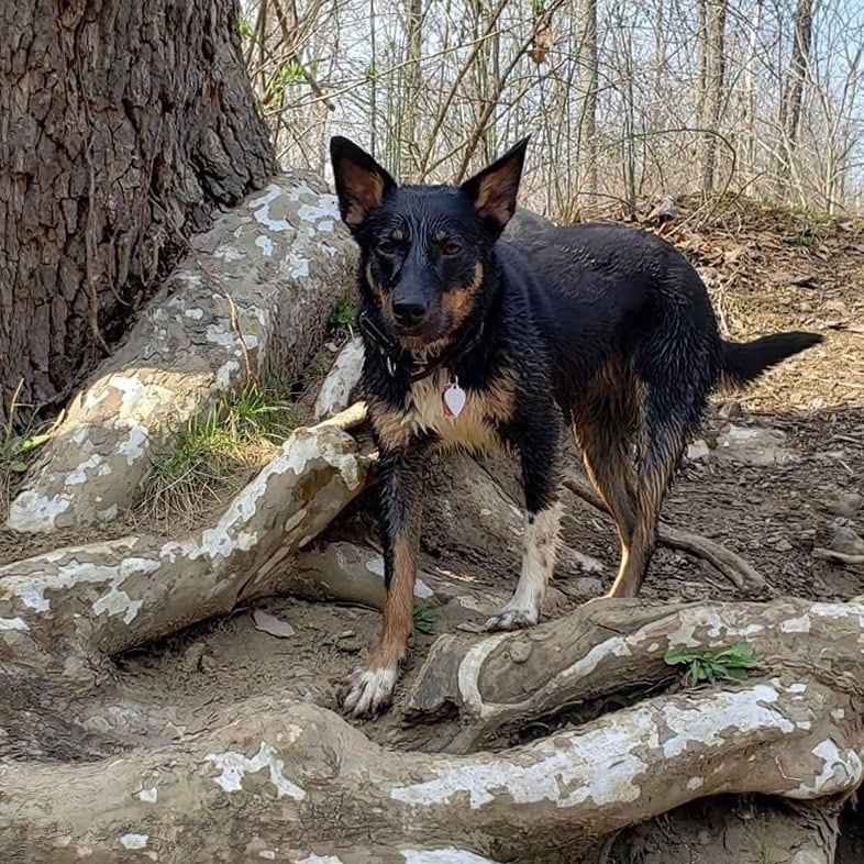 Australian Cattle Dog Mix on a Trail | Taste of the Wild