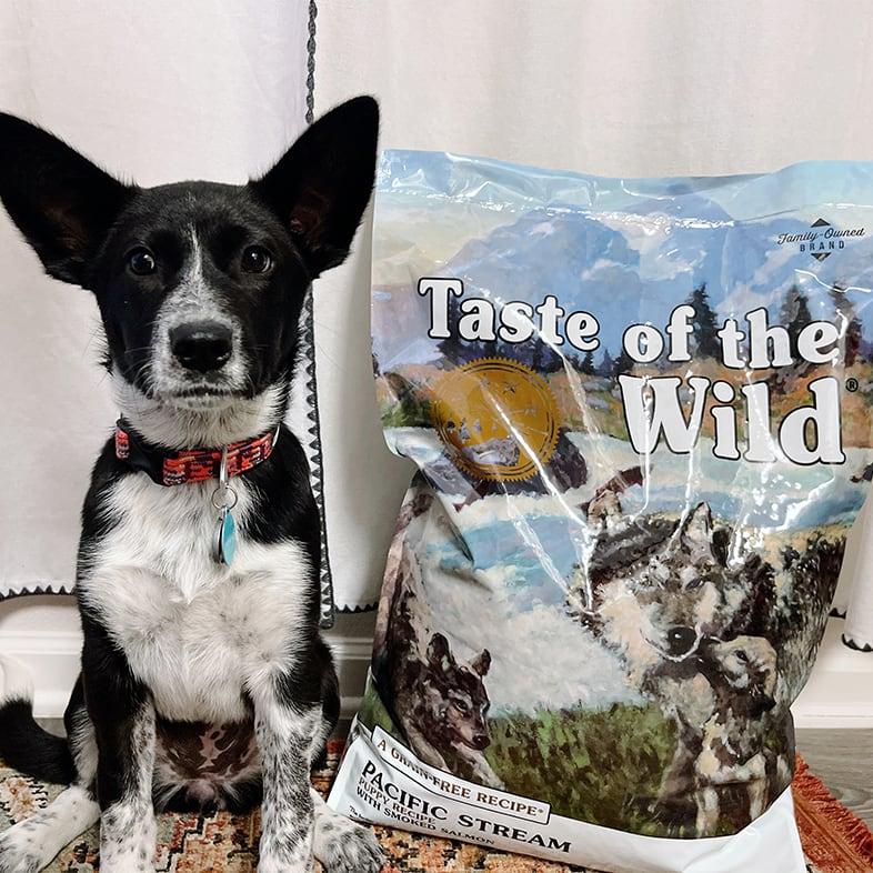 Australian Cattle Mixed Dog Sitting Next to Taste of the Wild Food Bag | Taste of the Wild