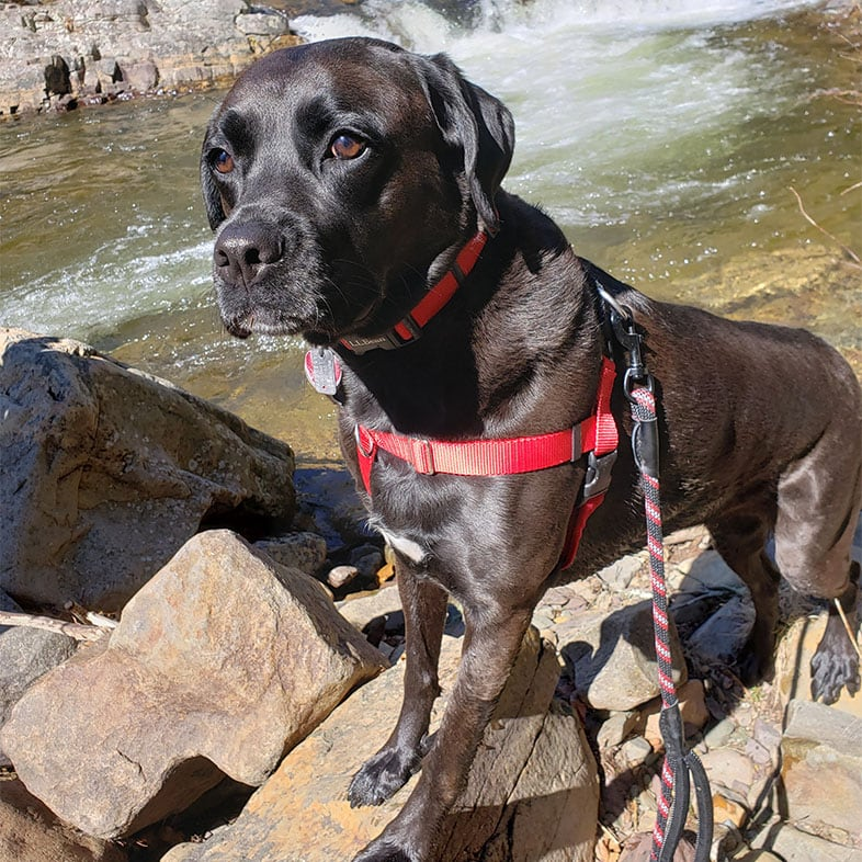 Boxer Lab Mix Dog by a Waterfall | Taste of the Wild