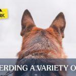 German Shepherd at Work | Taste of the Wild