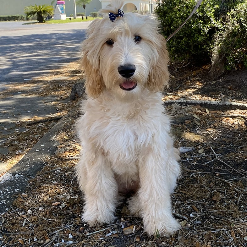 Goldendoodle Dog Sitting Next to a Tree | Taste of the Wild