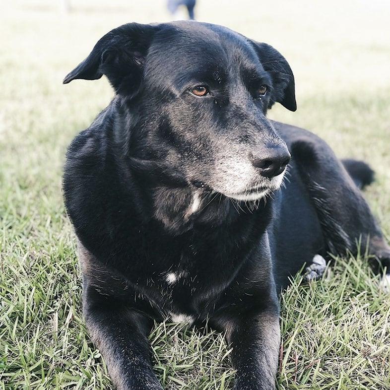 Husky Lab Mix Dog Lying on Grass | Taste of the Wild