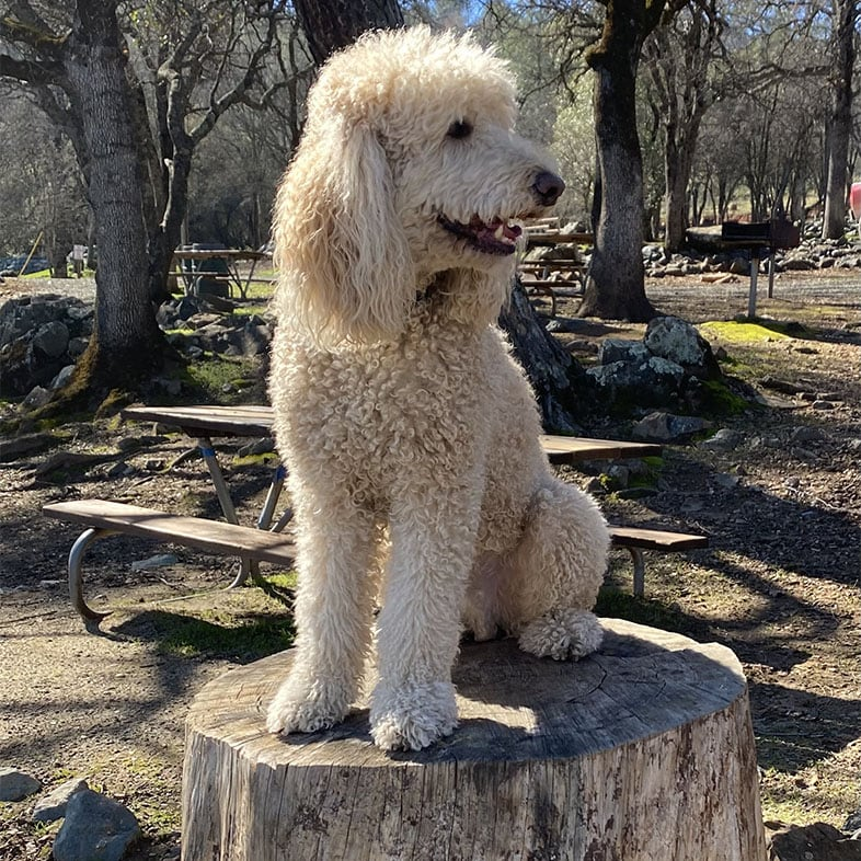 Poodle Sitting on Tree Log | Taste of the Wild