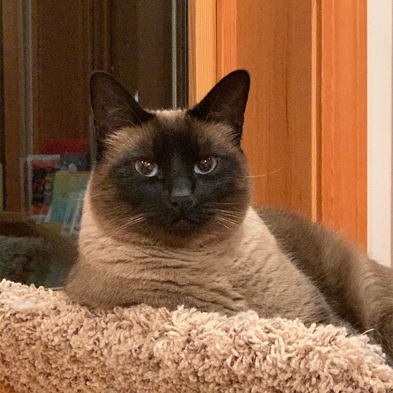 Siamese Cat Lying on Chair | Taste of the Wild