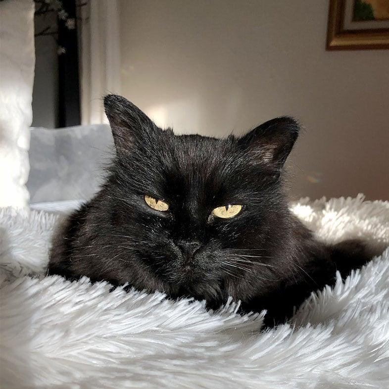 Crystal Siberian Cat Lying on Bed | Taste of the Wild